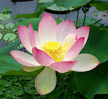 Lotus flower Wikipedia